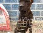 嘉兴出售纯种马犬,杜高犬,卡斯罗,罗威纳 杜宾等