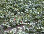 绿色有机草莓采摘园