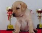 嘉兴哪有拉布拉多犬卖 嘉兴拉布拉多犬价格 拉布拉多犬多少钱