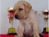 厦门哪有拉布拉多犬卖 拉布拉多犬价格 厦门拉布拉多犬多少钱