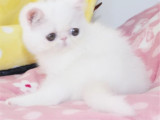 广东东莞包子脸加菲猫一手出售