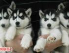 出售三火哈士奇幼犬纯种哈士奇雪橇犬 包纯种健康