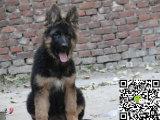 纯种德国牧羊犬价格 纯种牧羊犬多少钱