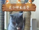 家养英短蓝猫找新家