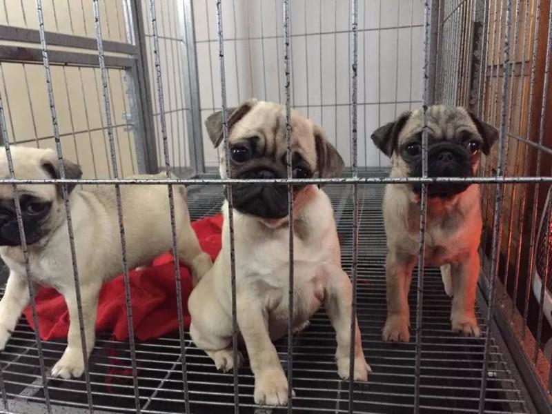 苏州哪里有狗场卖巴哥的 苏州哪里有犬舍出售八哥的 苏州巴哥幼