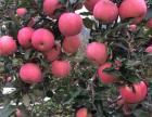 狼牙山红富士苹果熟了,香甜可口欢迎来采摘
