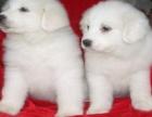 广州大白熊幼犬多少钱一只广州哪里有卖大白熊 大白熊价格