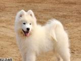 微笑天使萨摩耶雪橇犬 毛量体型完美、纯种健康帅气