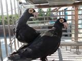 大鼻子种鸽出售
