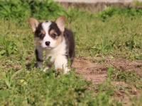 专业繁殖小短腿大屁股柯基幼犬丨现场检疫签协议并有大礼包赠送