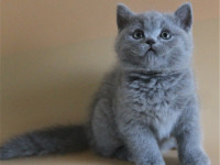 深圳蓝猫多少钱美短蓝猫多少钱一只低价出售纯种蓝猫幼崽