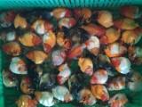 陕西兴平渔场出售优质 兰寿