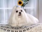 出售娇小 迷人 高贵的马尔济斯幼犬 顶级气质