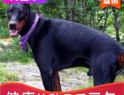 哪里有杜宾犬出售多少钱,杜宾犬的照片