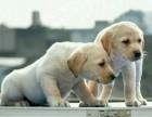 昆明 拉布拉多幼犬 纯种安康保证 疫苗驱虫已做 签协议包售后