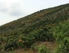 海南三亚崖州区芒果地对外转让或长期发包