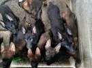 德国牧羊犬东德系列