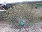 福州哪里出售孔雀 孔雀养殖场