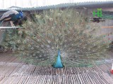 湖南孔雀养殖场 出售脱温孔雀