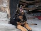 自家大狗生的一窝德国牧羊犬可以来家里看大狗品相