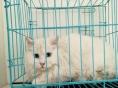 纯白长毛鸳鸯眼波斯猫妹妹1300 猫咪价格以标题价