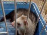 红腹松鼠幼崽,魔王松鼠,非洲迷你刺猬,安格鲁貂