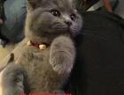 徐叔叔宠物猫英短折耳苏折蓝猫折耳美短折耳
