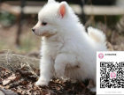 哪里有卖银狐犬 出售纯种银狐犬犬舍在哪里