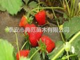达赛草莓苗多少钱一株 达赛草莓苗品种介绍