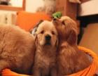 重庆狗狗之家长期出售高品质 金毛 售后无忧
