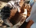两只超萌小虎斑猫-只售爱猫人士