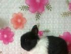 出售精品垂耳兔、道奇猫猫兔、侏儒兔、荷兰猪等宠物