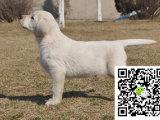 专业繁殖(拉布拉多幼犬)可来基地挑选 签协议保健康