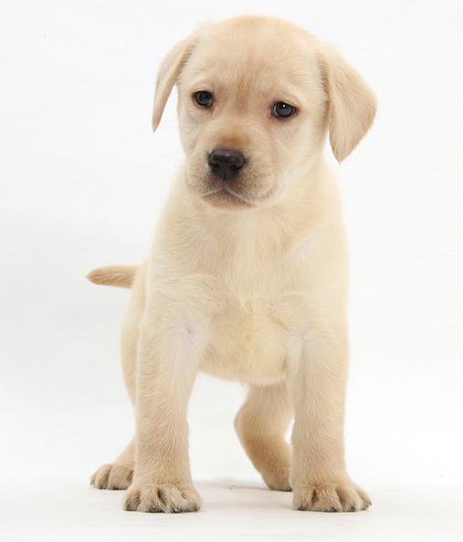 优良血统 纯种拉布拉多犬 健康 活泼 已疫苗驱虫
