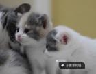 家养品质英短猫 蓝白乳白三花