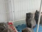 长期出售各种宠物猫,英短蓝猫,蓝白,渐层,美短,