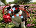 边境牧羊犬多少钱一只 良心养殖 精品边牧