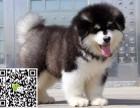淄博哪里卖阿拉斯加 纯种阿拉斯加雪橇犬多少钱 阿拉斯加犬舍