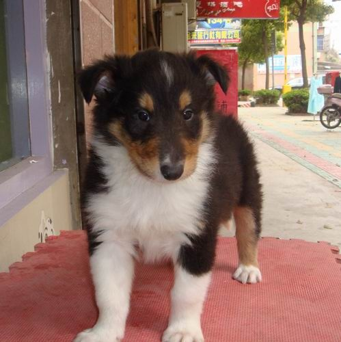 出售纯种苏格兰牧羊犬,保健康包纯种可上门签协议