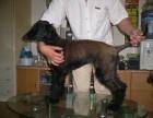 自家的巡回猎犬,智商高很聪明的阿富汗猎犬