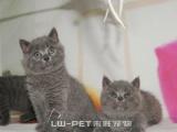 出售纯种蓝猫 蓝色英国短毛猫 实体猫舍包品质包健康