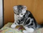出售短毛猫活体银虎斑加白纯种活体幼猫精品美短