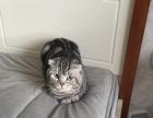 自家大猫生的美短宝宝