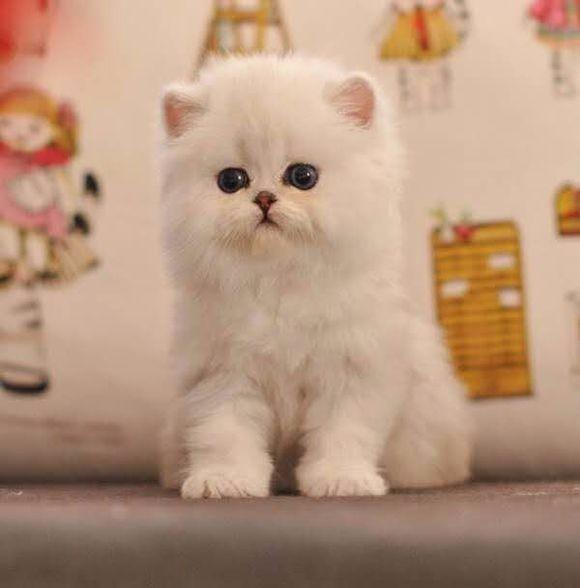 宁波哪里有金吉拉猫卖 猫舍直销 健康活泼 包纯种 保养活