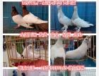 宿州观赏鸽价格,元宝鸽价格,出售各种观赏鸽