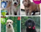 成都 家养出售 活泼可爱的拉布拉多犬 包建康