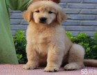 纯种金毛巡回猎犬.幼犬宝宝-健康质保-低价