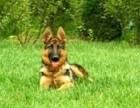 出售纯种健康黑背德国牧羊犬 幼犬可上门 包邮