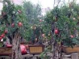 核果果树 核果果树诚邀加盟