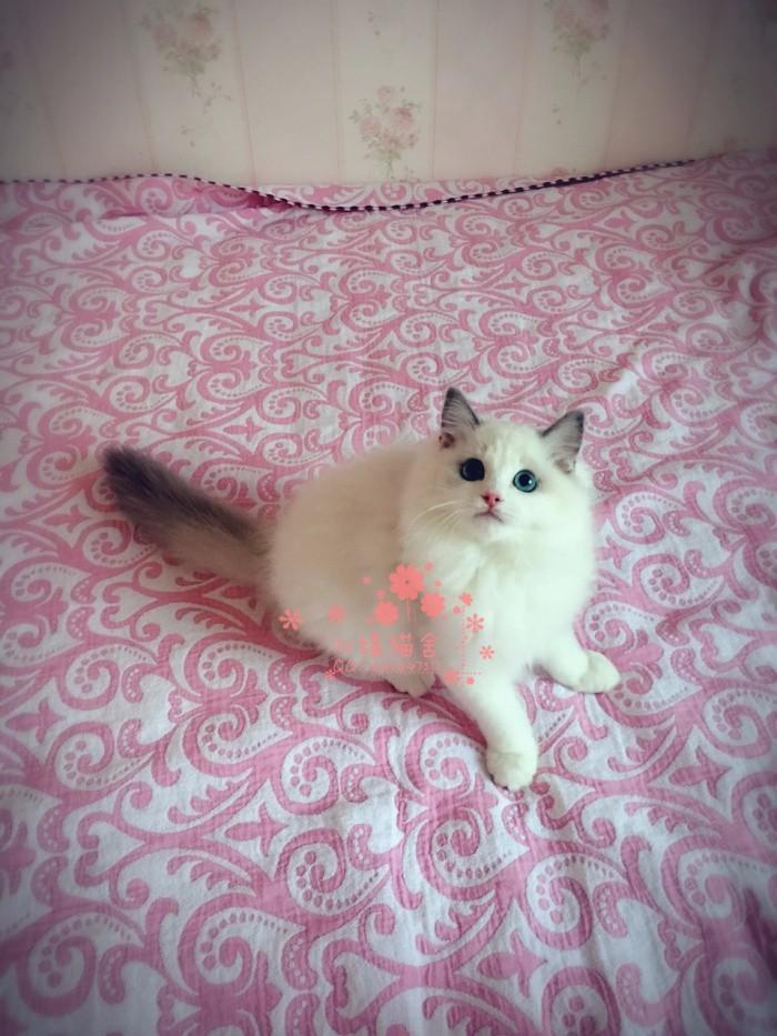 济南哪里有正规猫舍 济南出售布偶猫 纯种布偶猫价格